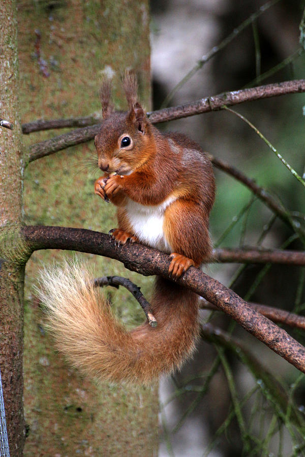 Red Squirrel Photograph - Red  Squirrel by Tom Gallacher