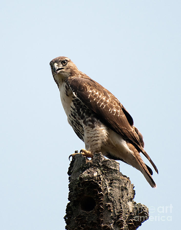 Red Tailed Hawk by Jean A Chang