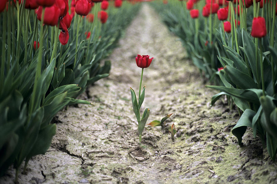Travel Photograph - Red Tulips by Jim Corwin