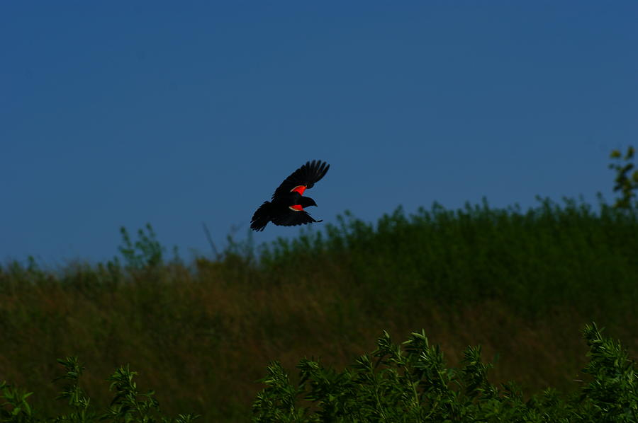 Ontario Photograph - Red Winged Blackbird by Andrew Lahay