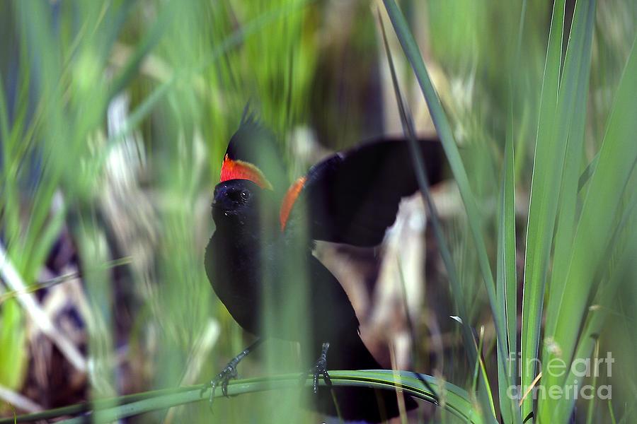 Blackbird Photograph - Red-winged Blackbird by Steven Ralser
