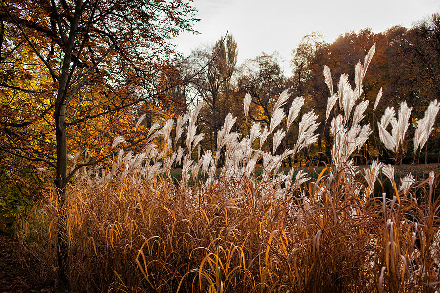 Reed Photograph - Reeds Highlighted By The Sun by Artur Bogacki