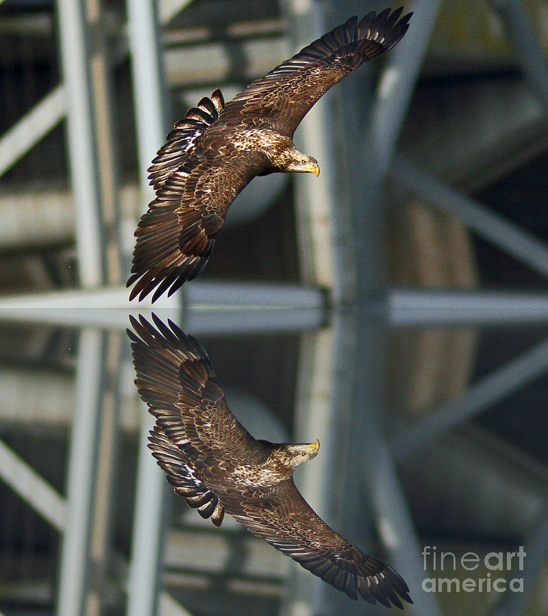 Eagle Photograph - Reflect On It by Michael Rucci