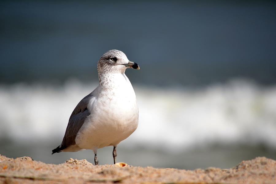 Adult Photograph - Ring Billed Gull by Krystal Goldie