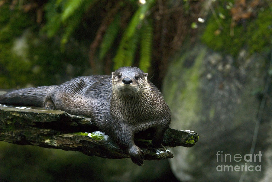 River Otter Photograph - River Otter by Mark Newman