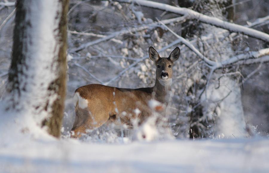 Roe Deer Photograph - Roe  Deer by Dragomir Felix-bogdan