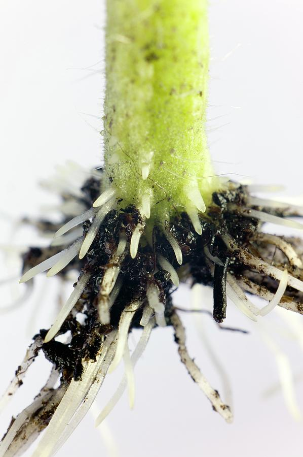 Tomato Photograph - Root Formation By A Tomato Cutting by Dr Jeremy Burgess