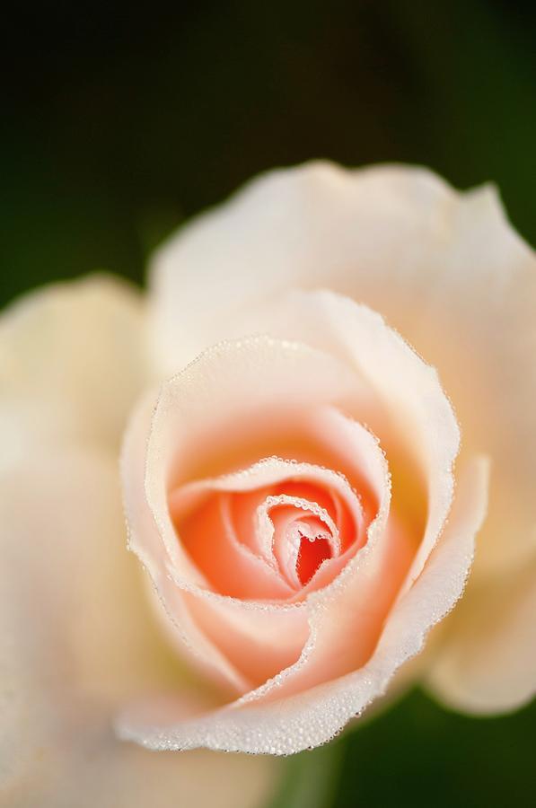 Rosa Photograph - Rosa johann Strauss Flower by Maria Mosolova