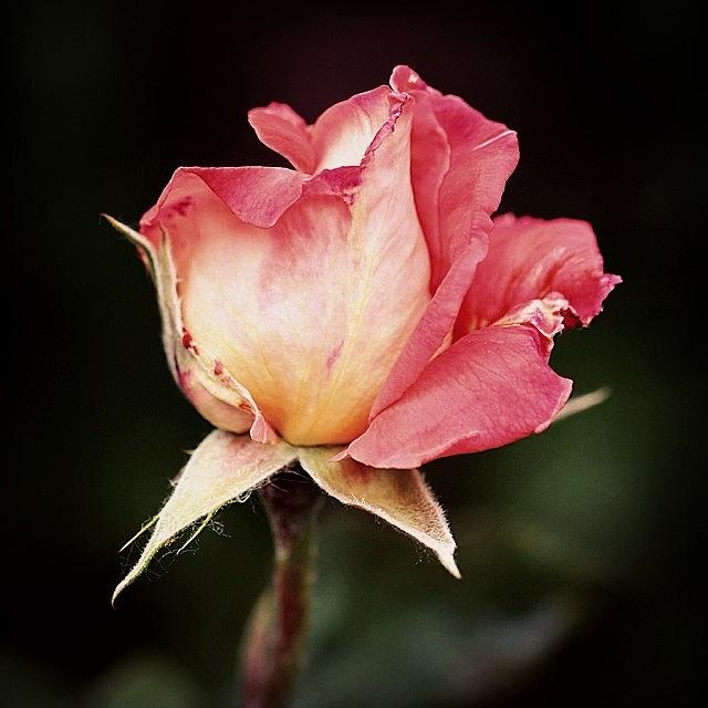 Beautiful Photograph - Rosa by Luisa Azzolini