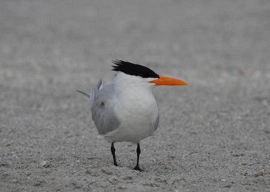 Royal Tern Photograph