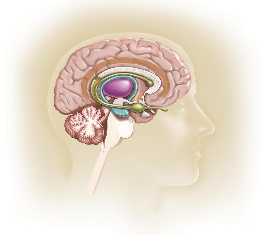 Sagittal View Of Human Brain Showing Digital Art By Trifocal