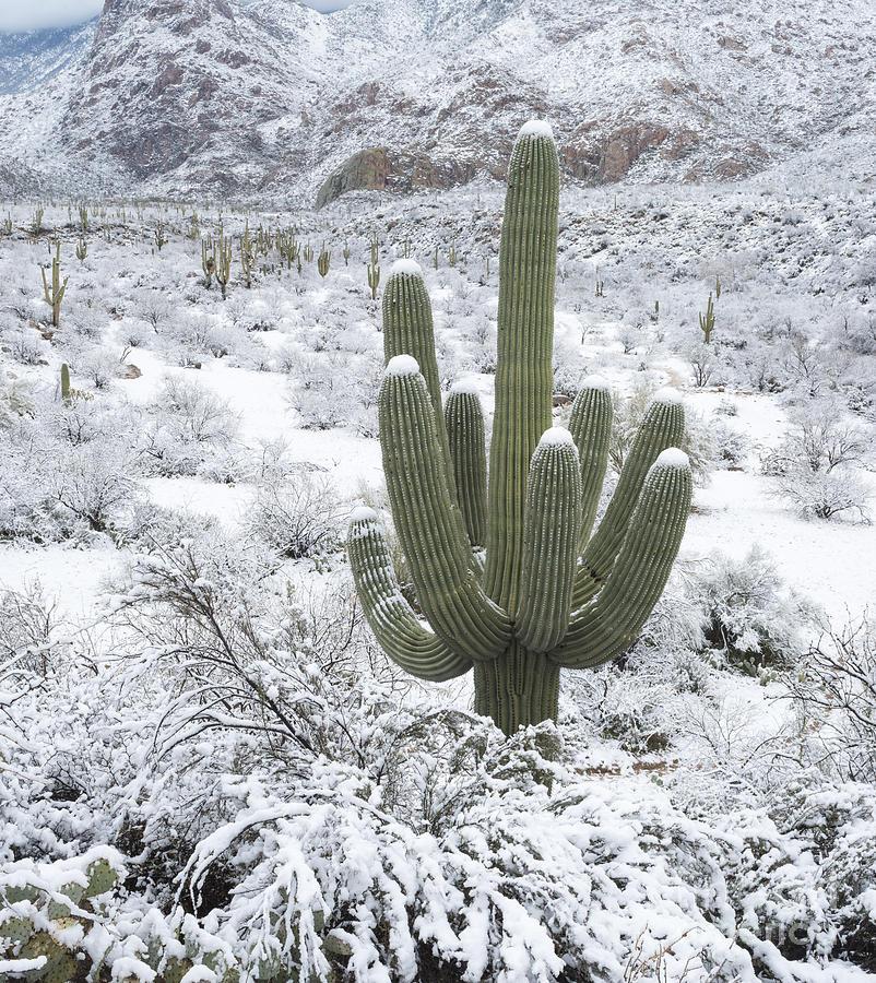 Arizona Photograph - Saguaro Cactus After Rare Desert by John Shaw