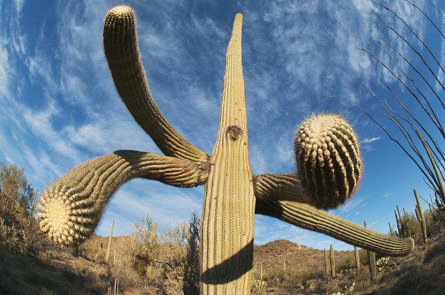 Saguaro Cactus Saguaro Np Arizona Photograph by Kevin Schafer