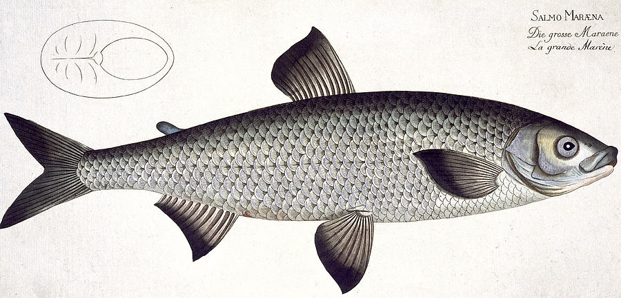 Fish Painting - Salmon by Andreas Ludwig Kruger