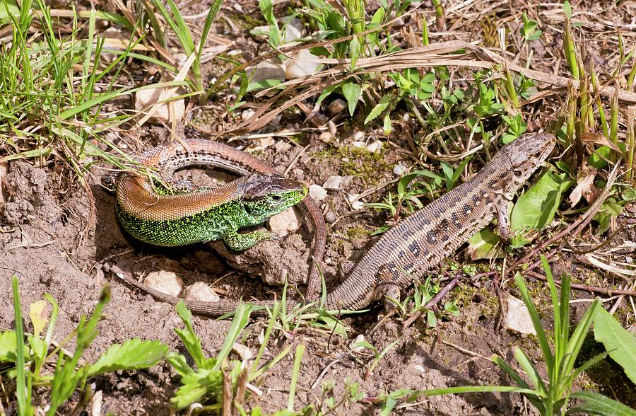 Nobody Photograph - Sand Lizards Courting by Bob Gibbons