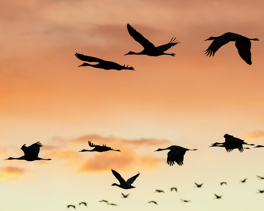 Sandhill Cranes Flying At Sunset Photograph By Maresa Pryor
