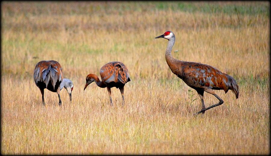 Bird Photograph - Sandhill Family by Kathy Sampson