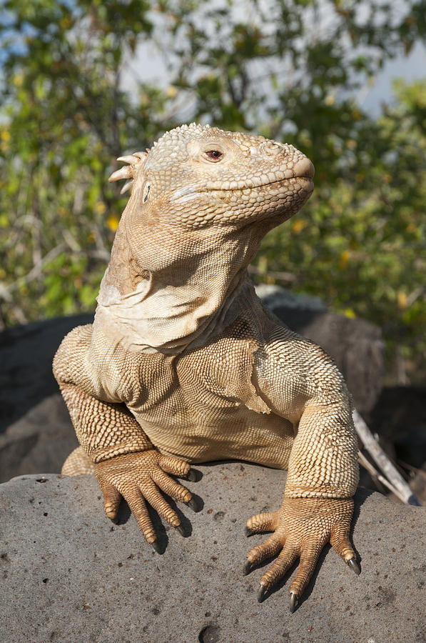 Santa Fe Land Iguana Galapagos Photograph by Tui De Roy