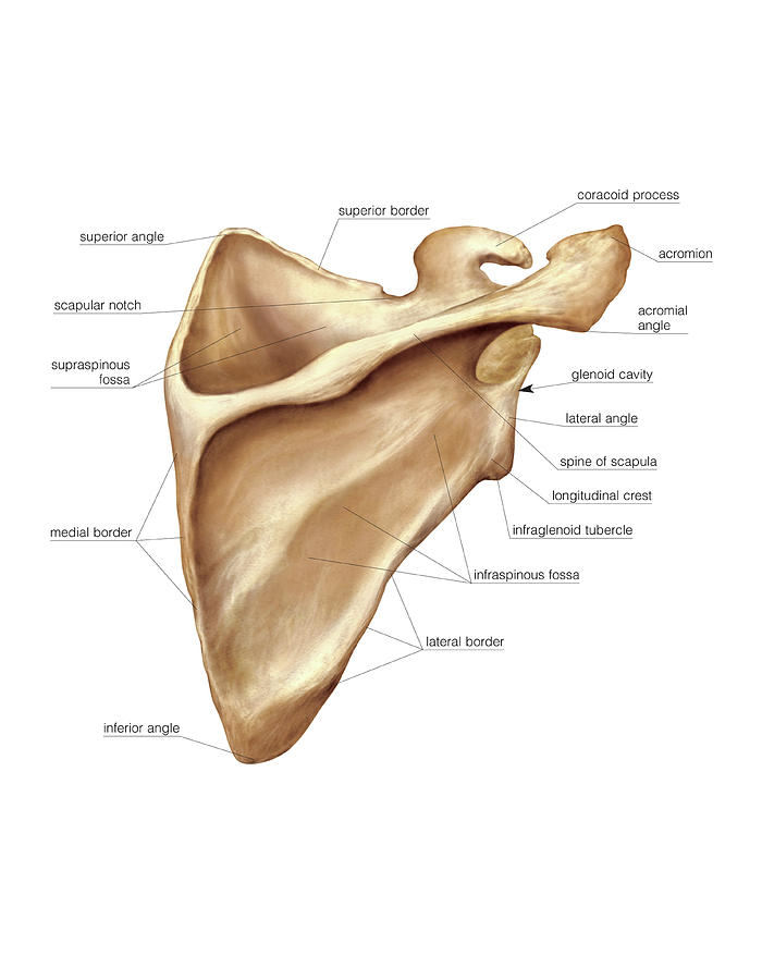scapula photograph by asklepios medical atlas