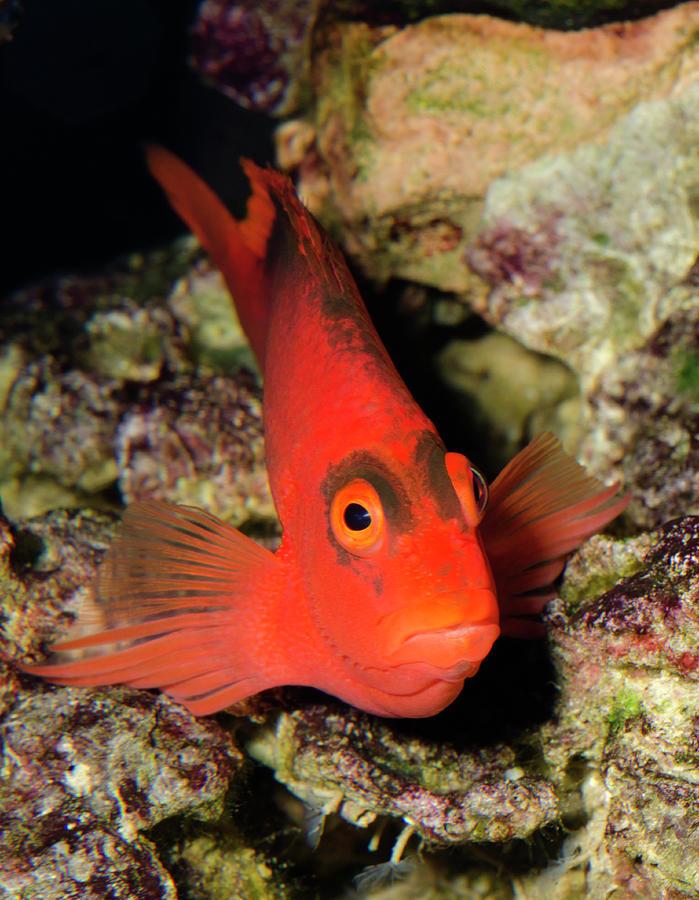 Fish Photograph - Scarlet Hawkfish Or Flame Hawkfish by Nigel Downer