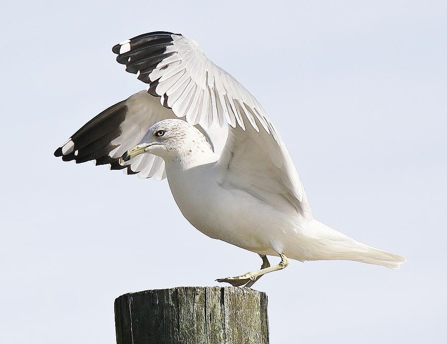 Sea Gull Photograph - Sea Gull by Paulette Thomas