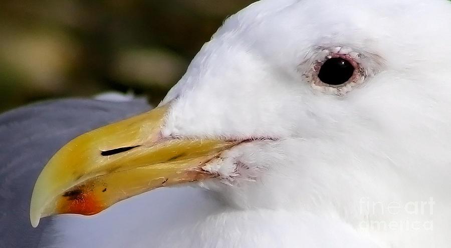Seagull Photograph - Seagull Portrait by Sue Harper