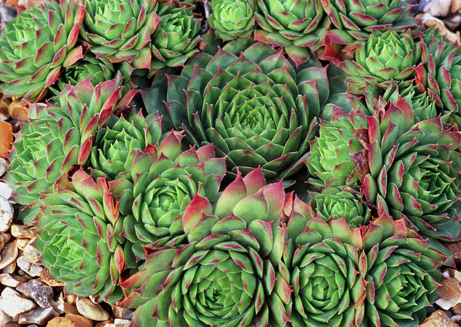 Sempervivum Photograph - Sempervivum rubra Ray by Anthony Cooper/science Photo Library