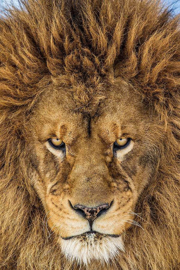Lion Photograph - Serious Lion by Mike Centioli