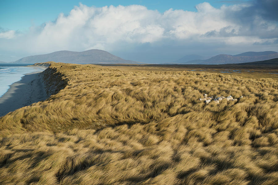 Sheep Hide Among Dune Grass At West Photograph by Cody Duncan