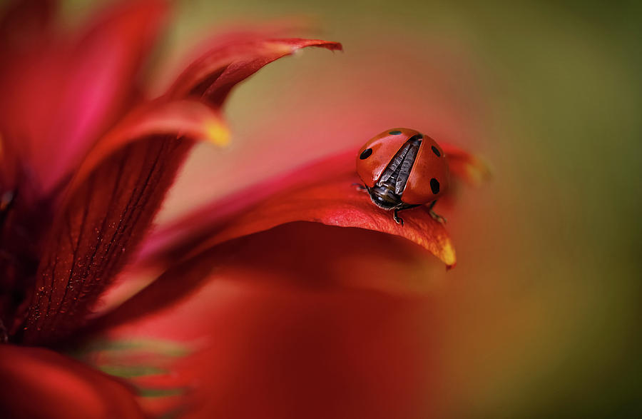 Red Photograph - Simply Red by Mandy Disher
