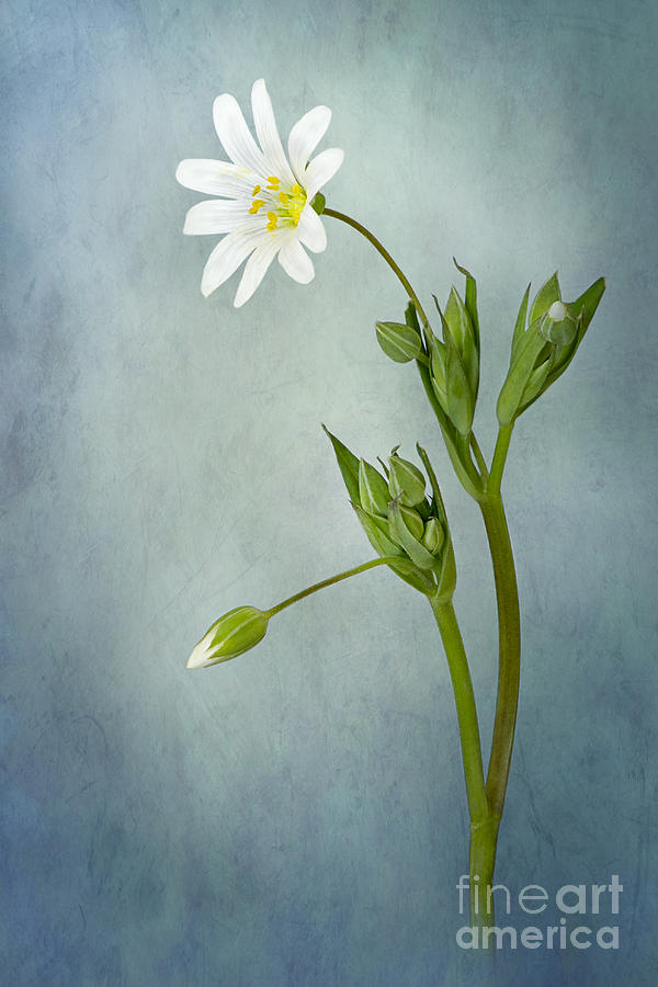 Stellaria Holostea Photograph - Simply Stitchwort by Jacky Parker