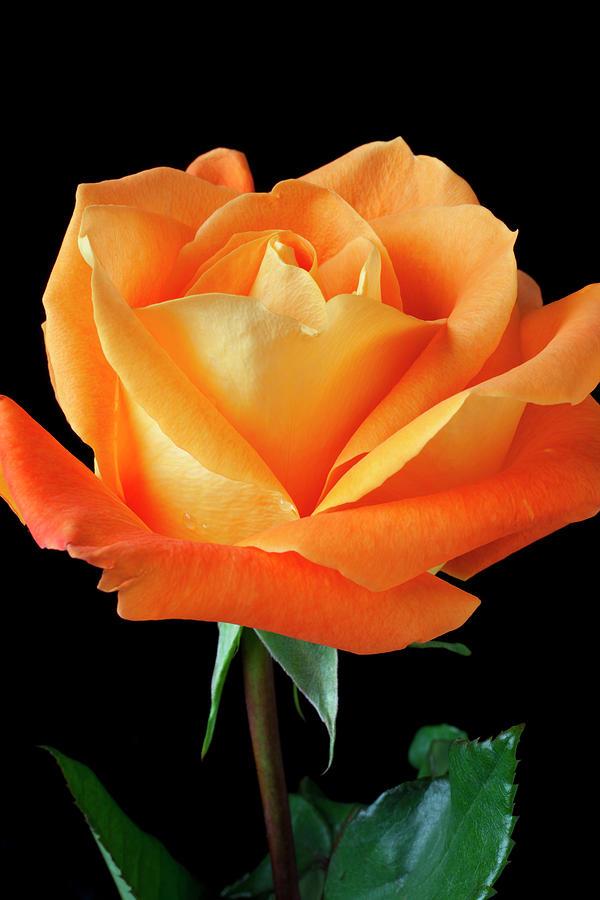 Single Orange Rose Photograph by Garry Gay