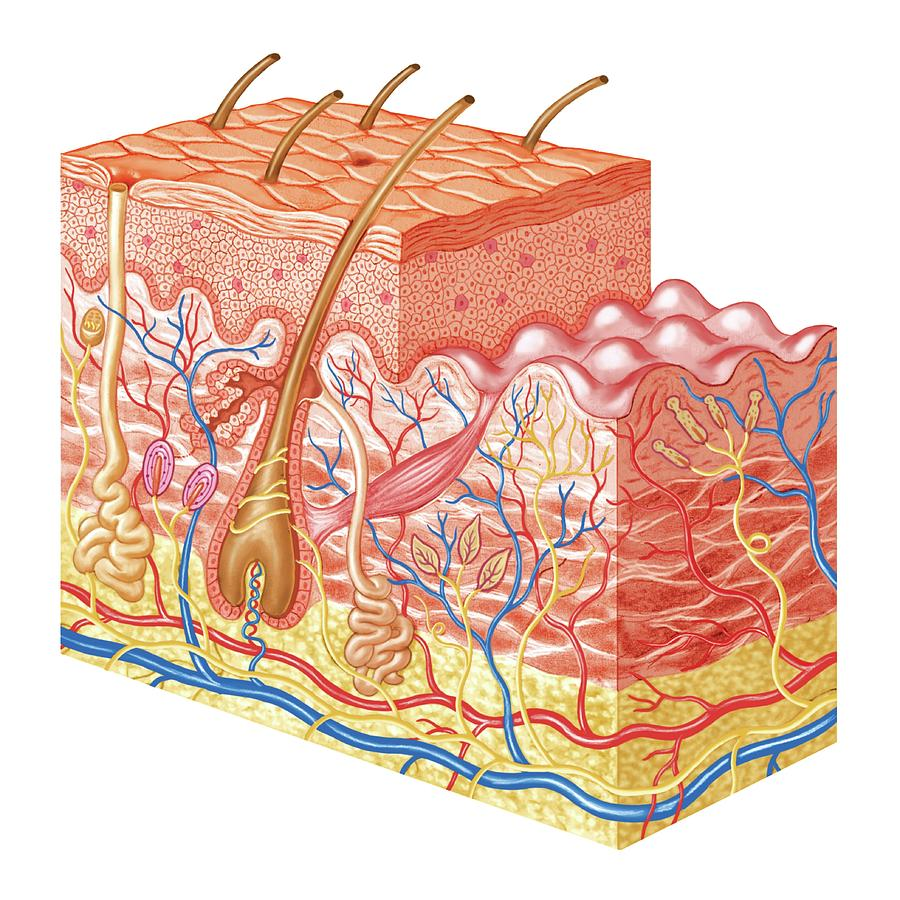 Skin Layers Photograph By Asklepios Medical Atlas