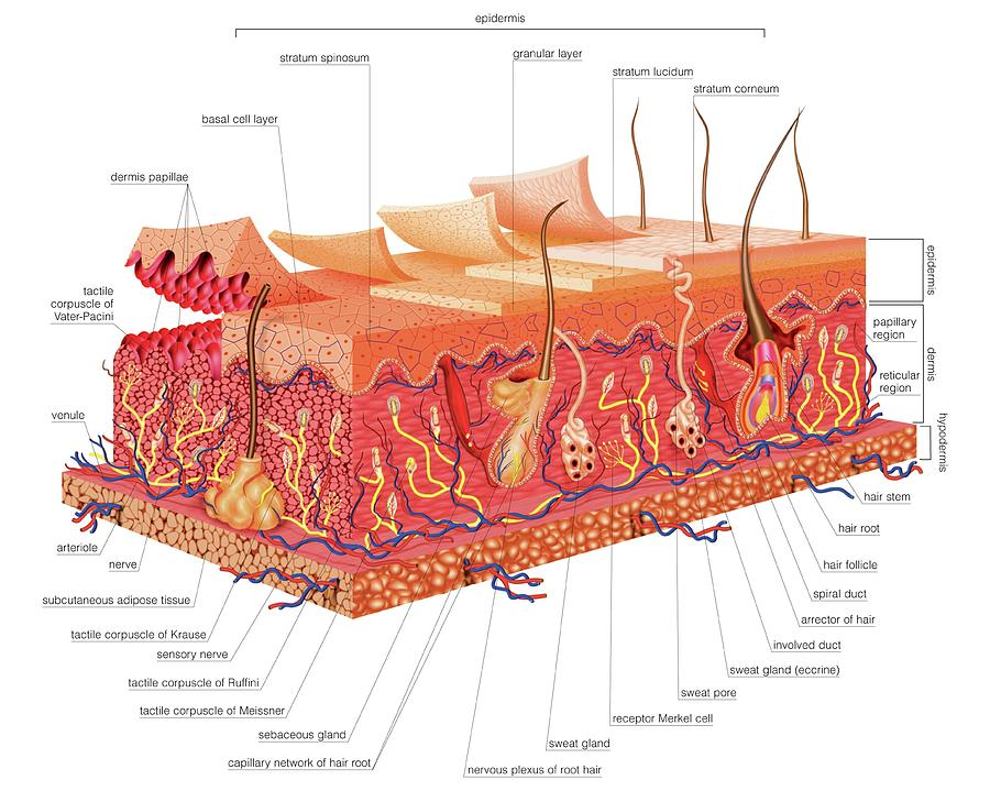 Skin Structure Photograph By Asklepios Medical Atlas