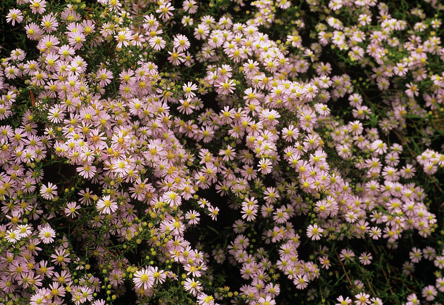 Plant Photograph - Sky Blue Aster Flowers by Anthony Cooper/science Photo Library