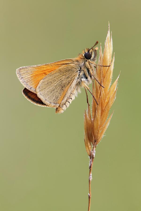 Arthropod Photograph - Small Skipper Butterfly by Heath Mcdonald