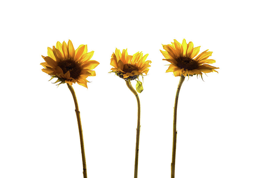 Horizontal Photograph - Small Sunflowers Or Helianthus by Panoramic Images