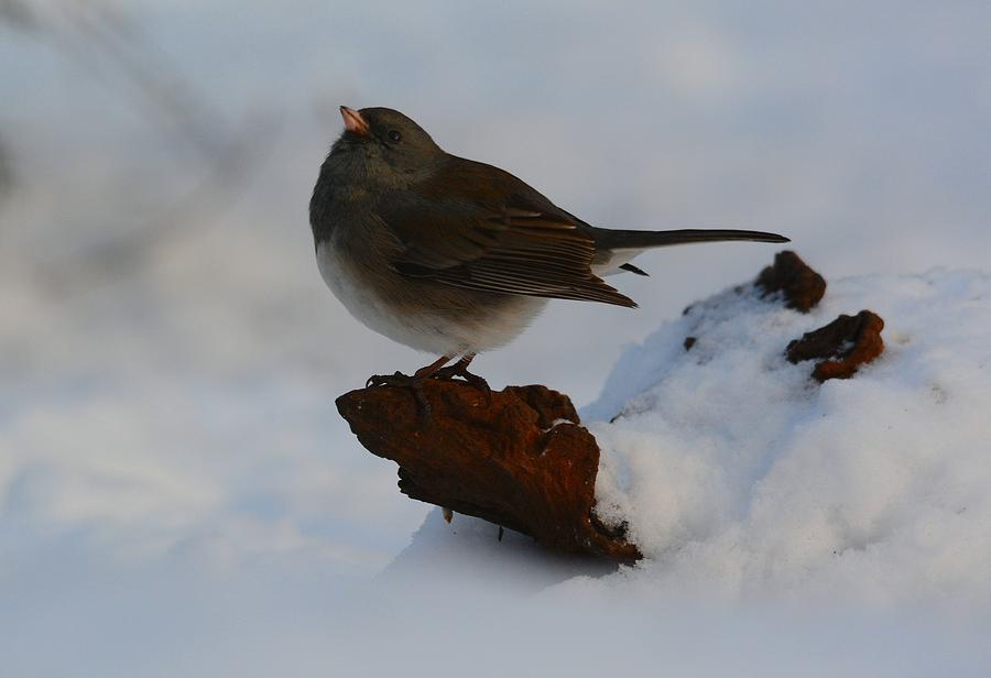 Bird Photograph - Snowbird by Charles Owens