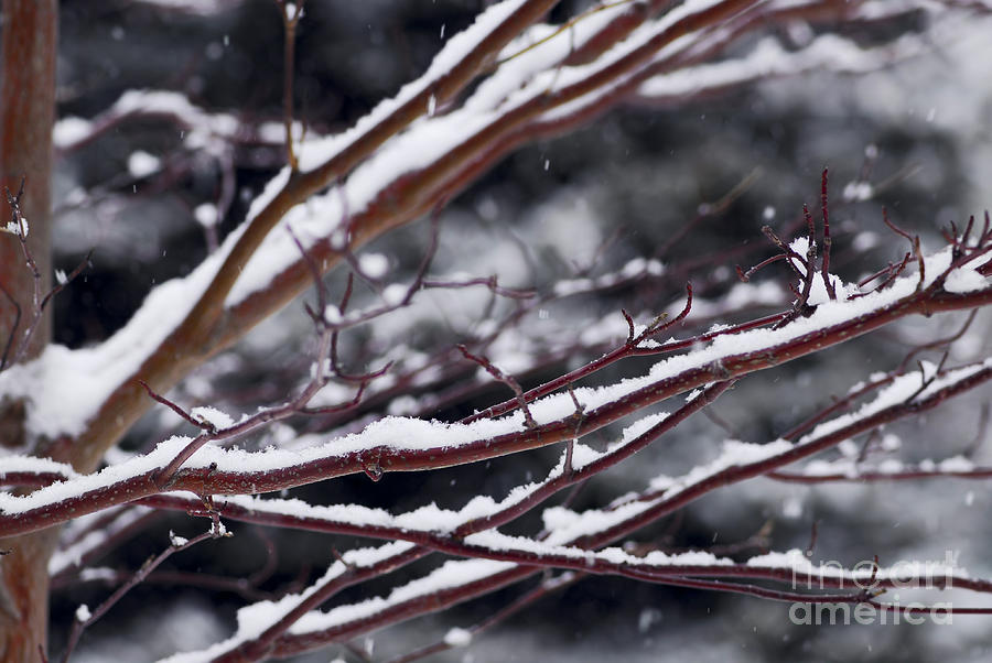 Winter Photograph - Snowfall And Tree by Elena Elisseeva