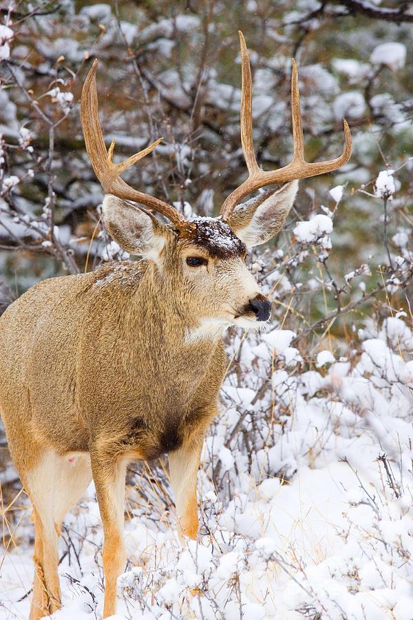Snowstorm Deer Photograph