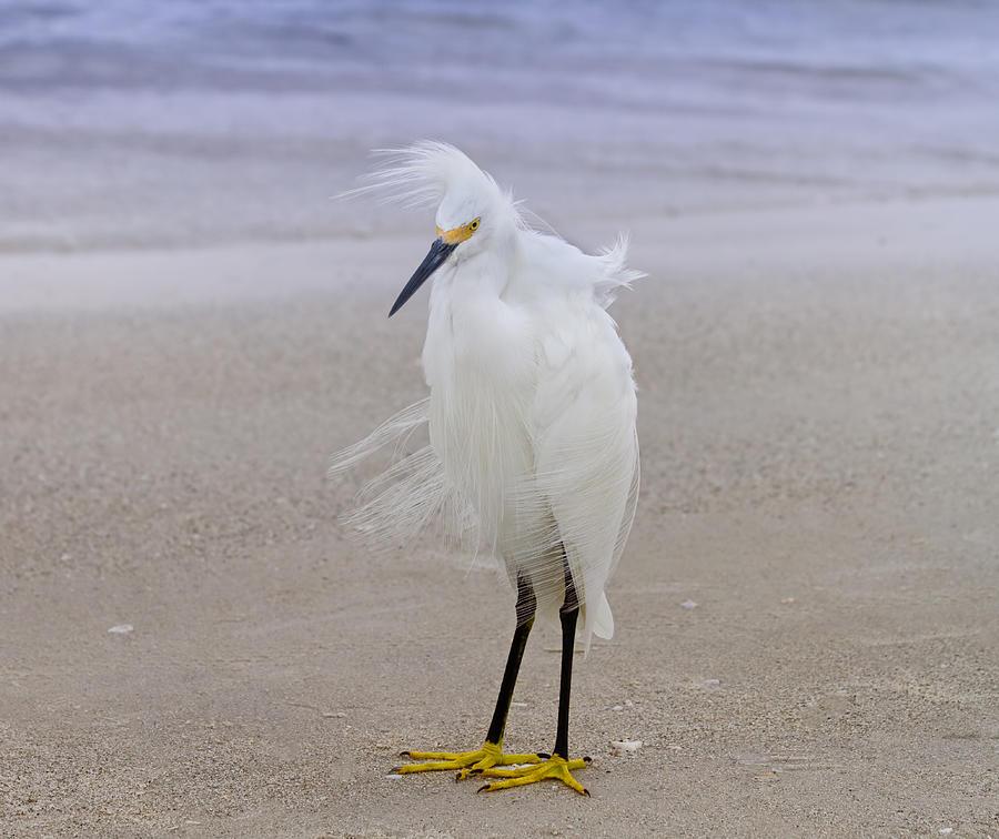 Egret Photograph - Snowy Egret At The Beach by Kim Hojnacki