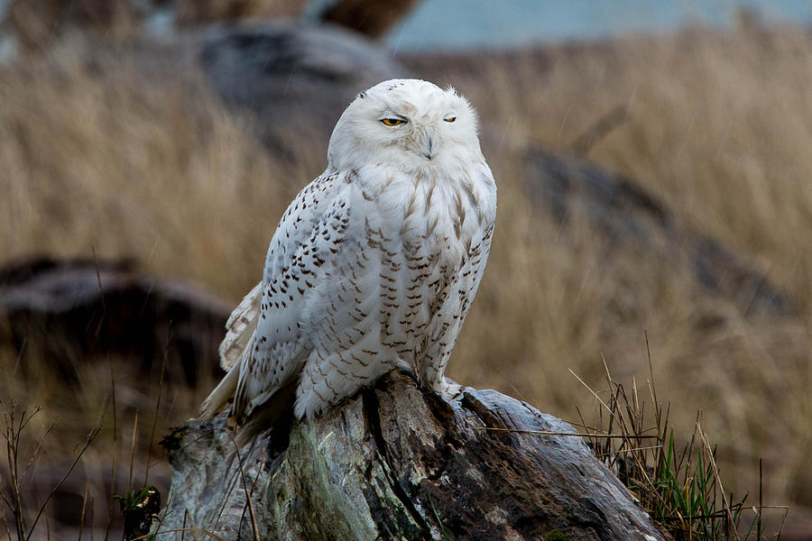 Snow Owl Photograph - Snowy Owl by David Yack