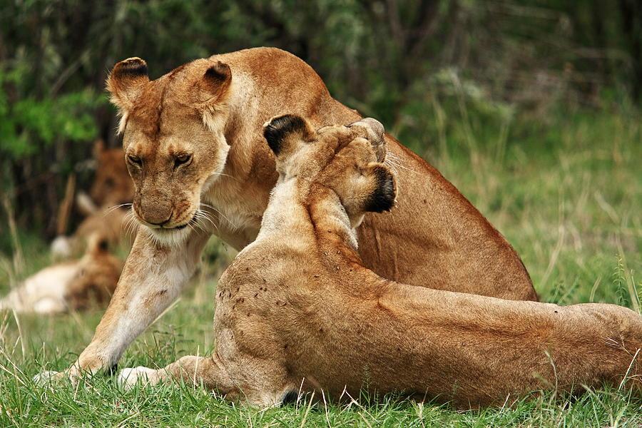 Lion Photograph - Sociable Lions   by Aidan Moran