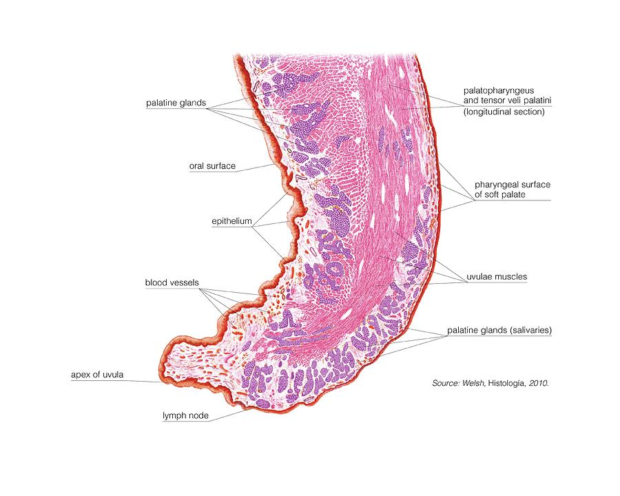 anatomy photograph - soft palate and uvula by asklepios medical atlas