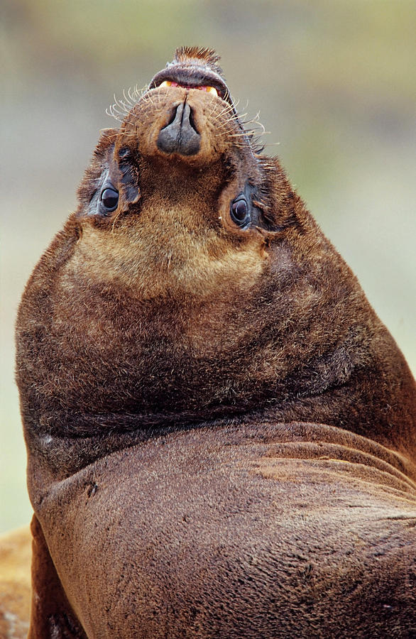 Animal Photograph - South American Sea Lion (otaria by Martin Zwick