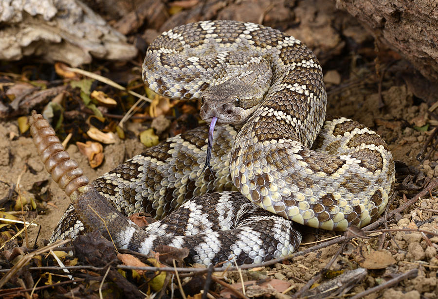 Snake Photograph - Southern Pacific Rattlesnake. by John Bell