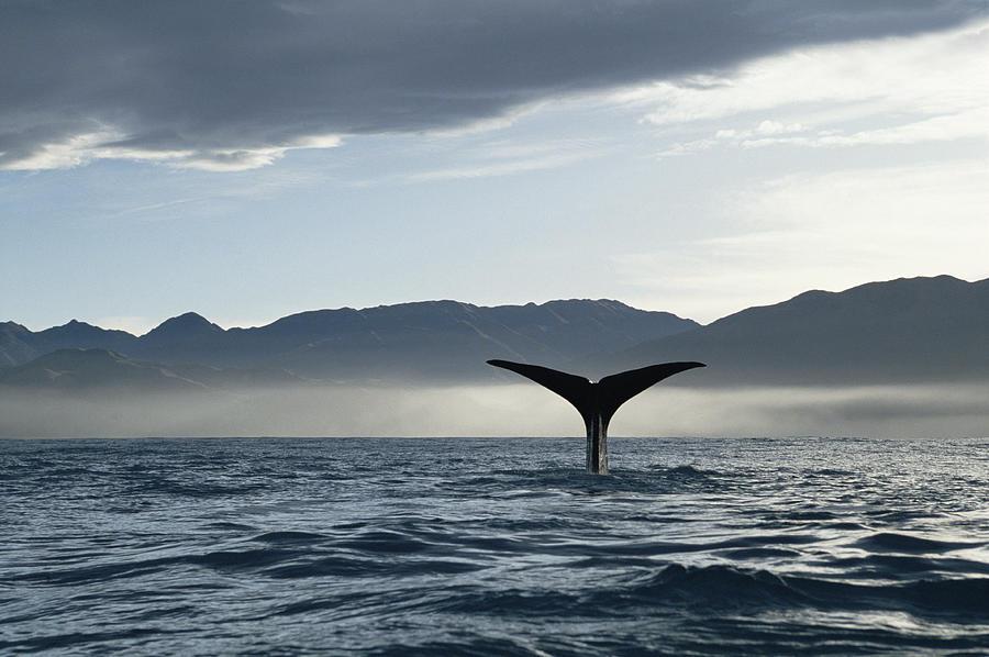 Mp Photograph - Sperm Whale Physeter Macrocephalus by Flip Nicklin