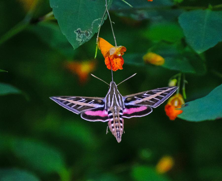 Sphinx Moth Photograph