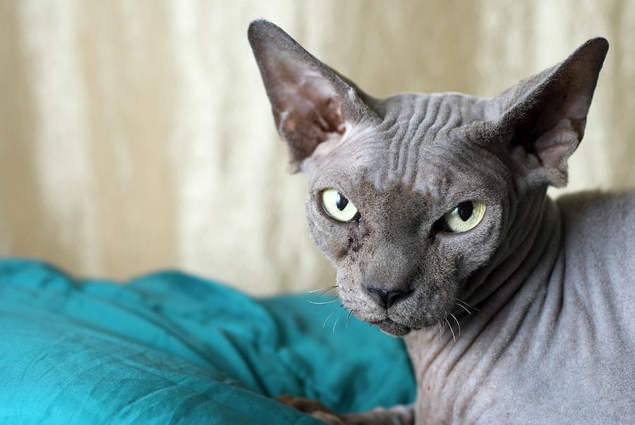Ygor the Sphynx cat by sylviecorriveau   Sphynx cat