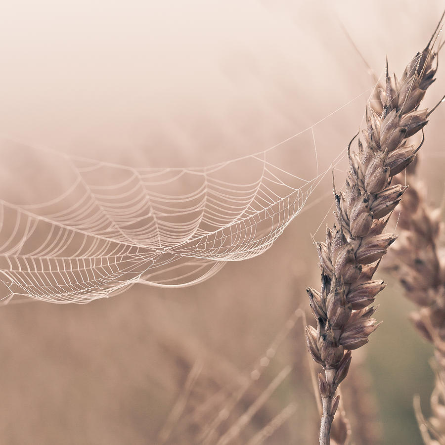 Spider Web Photograph - Autumn spider web on grain by Aldona Pivoriene